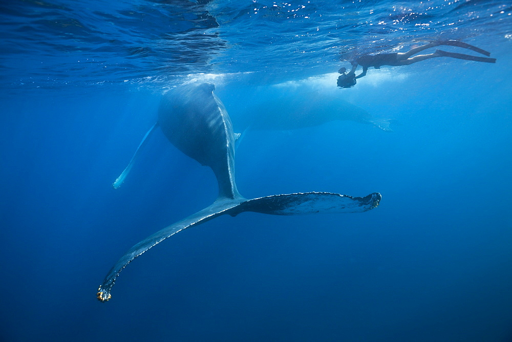 Humpback whale (Megaptera novaeangliae), Dominica, Caribbean Sea, West Indies, Central America - 759-9021