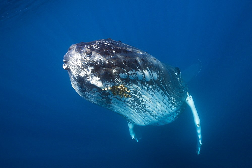 Humpback whale (Megaptera novaeangliae), Dominica, Caribbean Sea, West Indies, Central America - 759-9022
