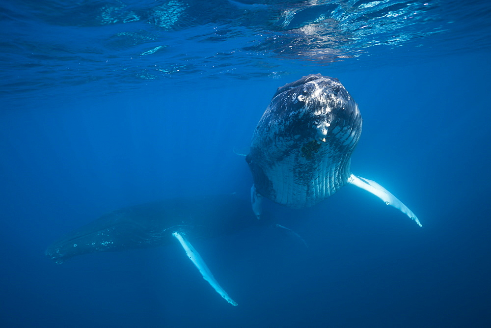 Humpback whale (Megaptera novaeangliae), Dominica, Caribbean Sea, West Indies, Central America - 759-9023