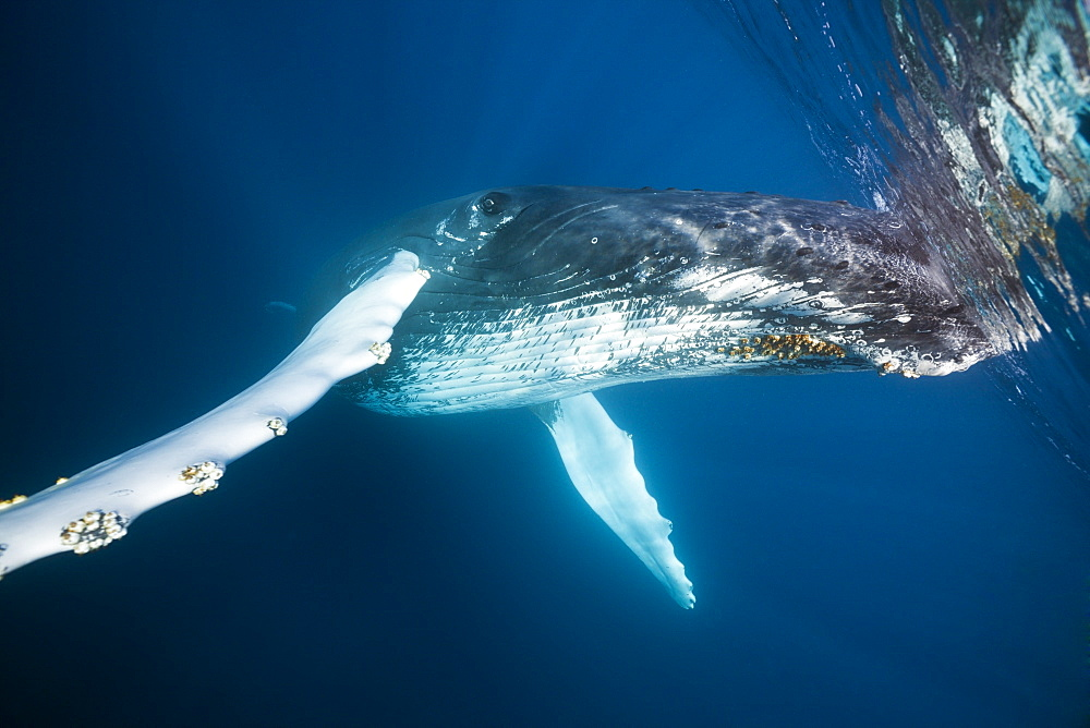 Humpback whale (Megaptera novaeangliae), Dominica, Caribbean Sea, West Indies, Central America - 759-9024