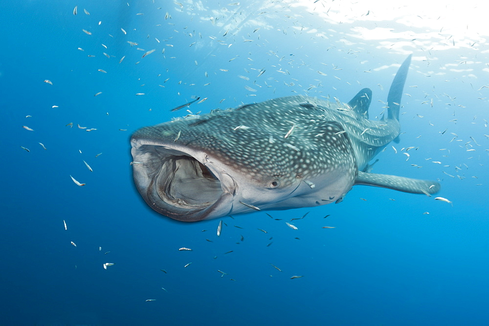 Whale shark (Rhincodon typus), Cenderawasih Bay, West Papua, Indonesia, Southeast Asia, Asia - 759-9090