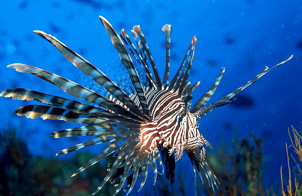 lionfish, turkeyfish, Pterois volitans, Palau, Pacific ocean