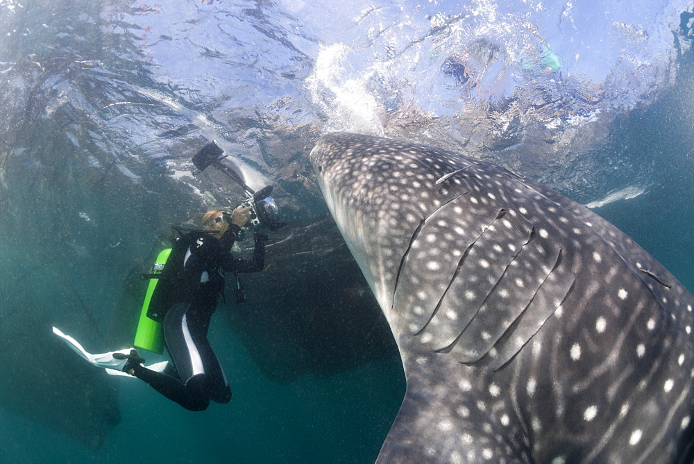 Scuba diver photographing feeding whale shark (Rhincodon typus), Cenderawasih Bay, West Papua, Indonesia, Southeast Asia, Asia - 759-9138