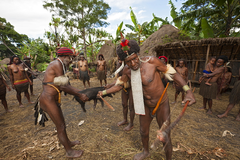 Dani tribe slaughters pig for Pig Festivel, Baliem Valley, West Papua, Indonesia, Southeast Asia, Asia - 759-9281