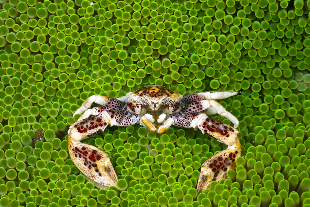 Porcelain crab (Neopetrolisthes oshimai), in sea anemone, Cenderawasih Bay, West Papua, Indonesia, Southeast Asia, Asia - 759-9500