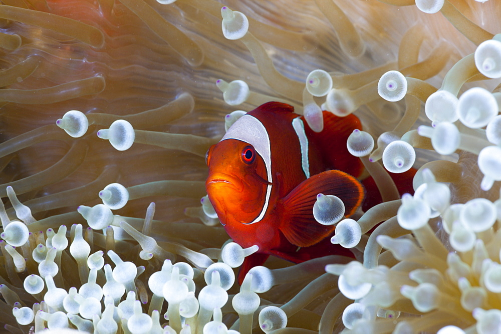 Spinecheek clownfish (Premnas aculeatus) in white bubble tip Sea Anemone (Entacmaea quadricolor), Cenderawasih Bay, West Papua, Indonesia, Southeast Asia, Asia - 759-9509