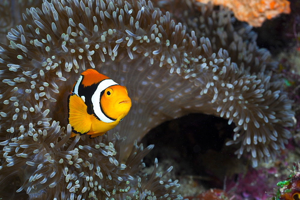 Clown anemonefish (Amphiprion percula) in sea anemone, Cenderawasih Bay, West Papua, Indonesia, Southeast Asia, Asia - 759-9511
