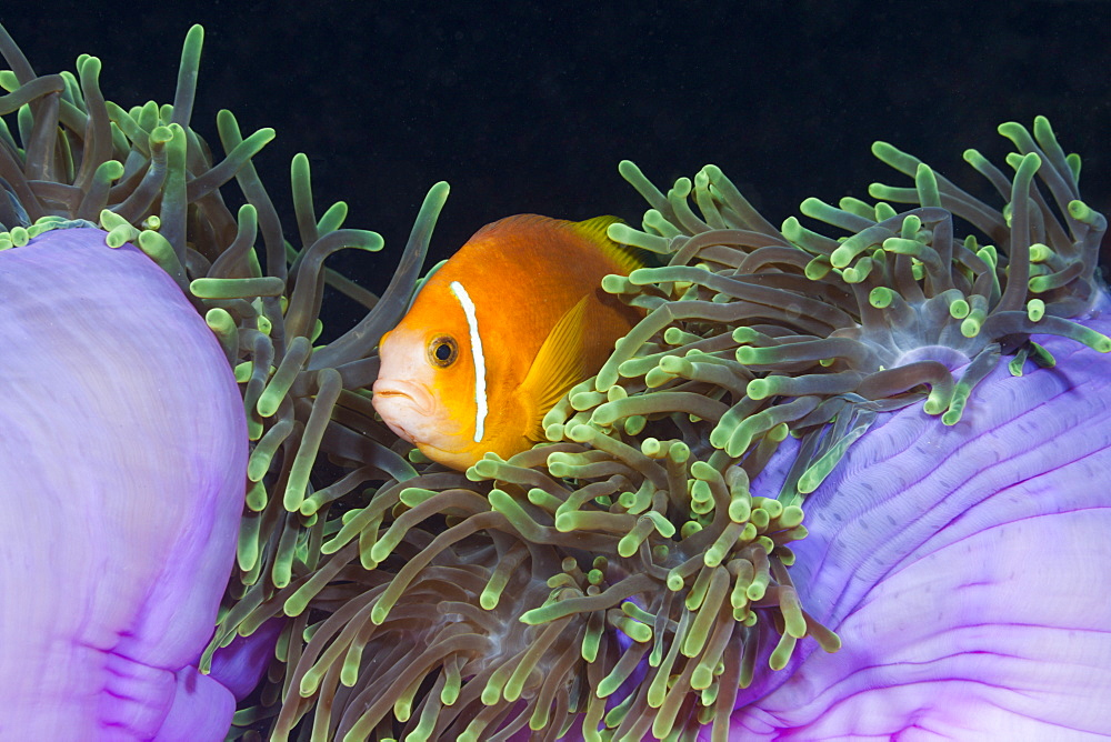 Endemic Maldives anemonefish (Amphiprion nigripes) in magnificent anemone (Heteractis magnifica), Baa Atoll, Maldives, Indian Ocean, Asia - 759-9612
