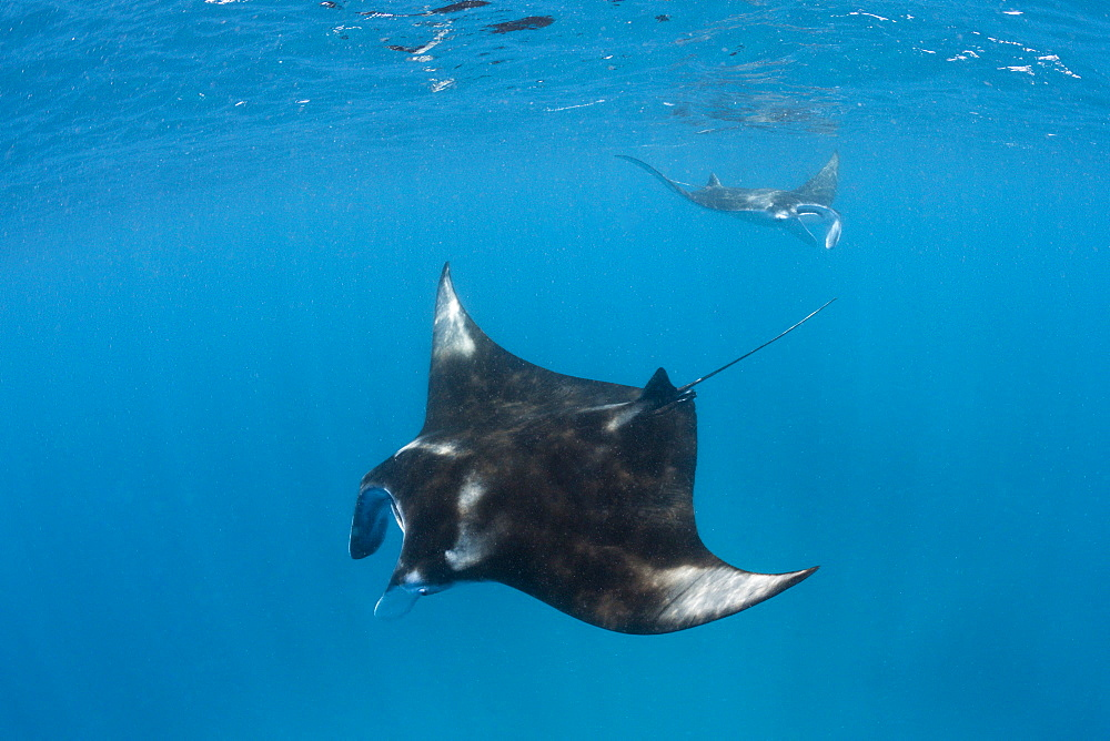 Manta (Manta birostris), Hanifaru Bay, Baa Atoll, Maldives, Indian Ocean, Asia - 759-9707