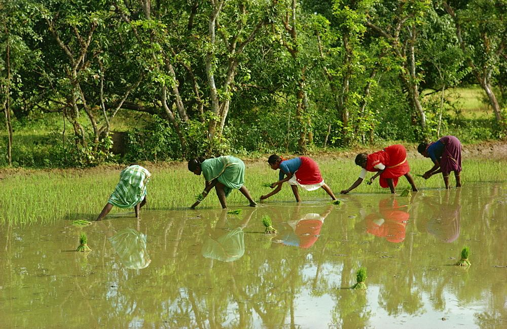 Planting rice, Mysore, India, Asia - 76-969