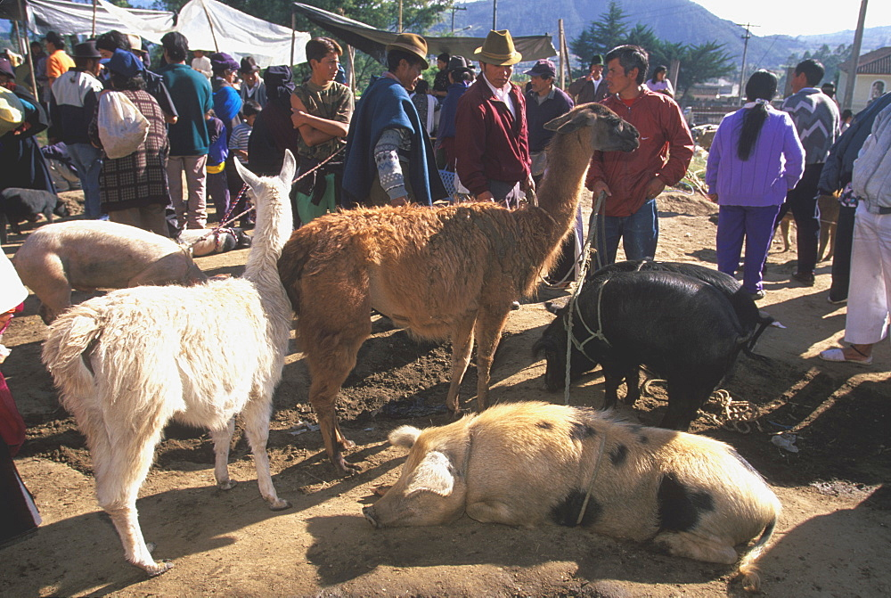 Otavalo, north of Quito is one of Latin Am's most famous markets for textiles, crafts and produce animal market with llamas, pigs, Quito, Ecuador