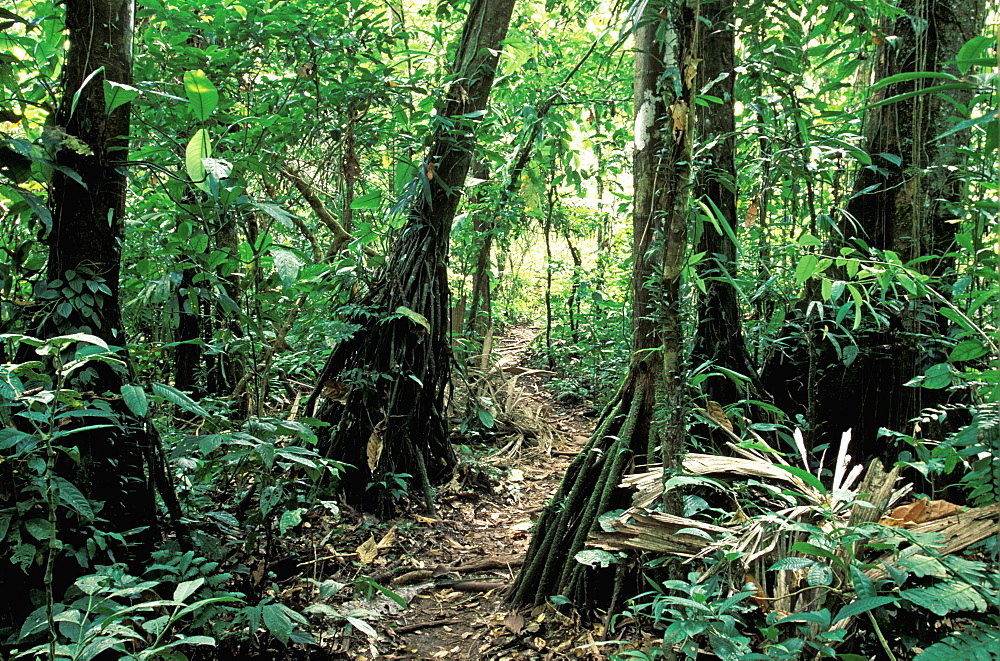 Amazon River Basin Napo River (Amazon tributary) down river from Coca at La Selva Jungle Lodge path through primary rainforest, Oriente, Ecuador
