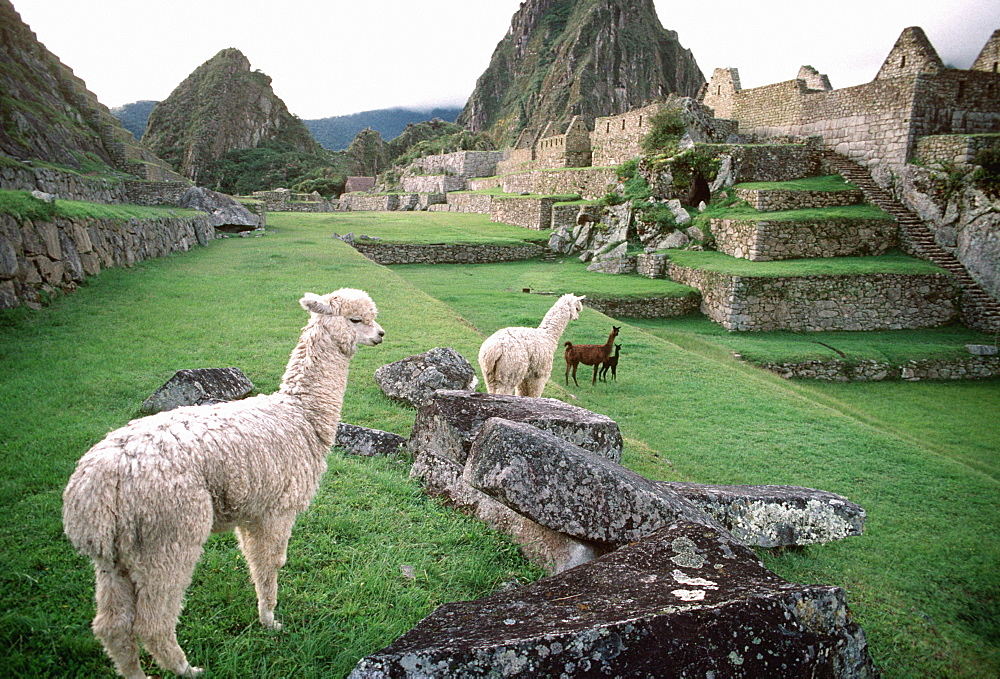 Machu Picchu the ancient Incan city with above the Rio Urubamba in the Vilcabamba Mountains llamas grazing within the site, Highlands, Peru