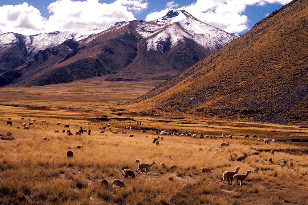 Llamas grazing in a high valley on Altiplano along the railroad line from Cuzco to Puno on Lake Titicaca, Peru