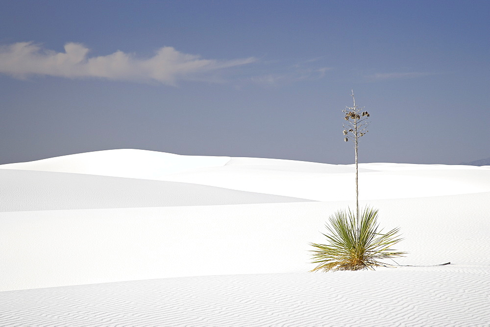 Yucca plant on dunes, White Sands National Monument, New Mexico, United States of America, North America