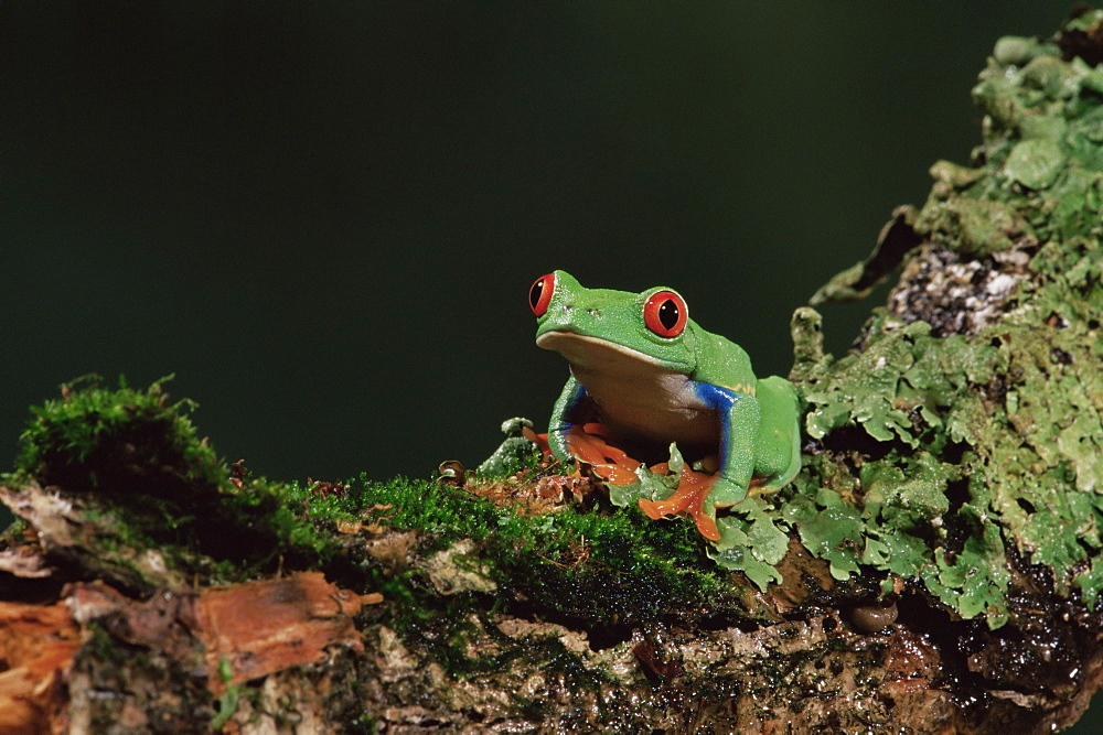 Red eye treefrog (Agalychnis callidryas), in captivity, from Central America