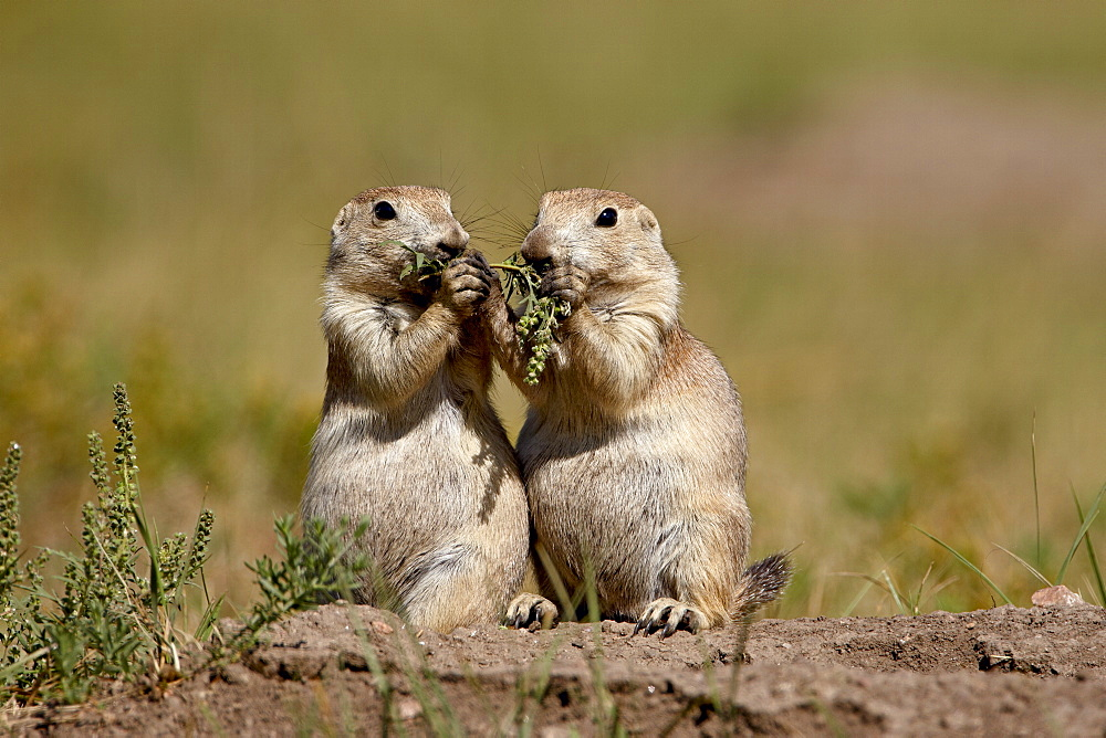 Two blacktail prairie dog (Cynomys ludovicianus) sharing something to eat, Wind Cave National Park, South Dakota, United States of America, North America