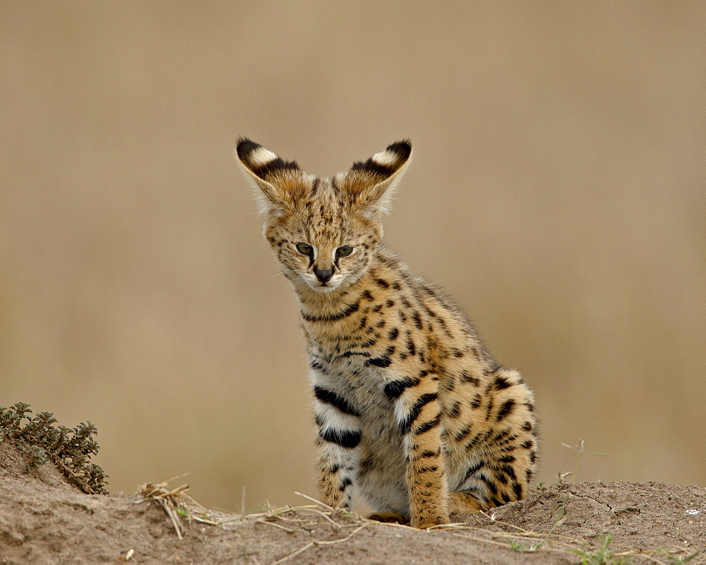 Serval (Felis serval) cub on termite mound showing the back of its ears, Masai Mara National Reserve, Kenya, East Africa, Africa