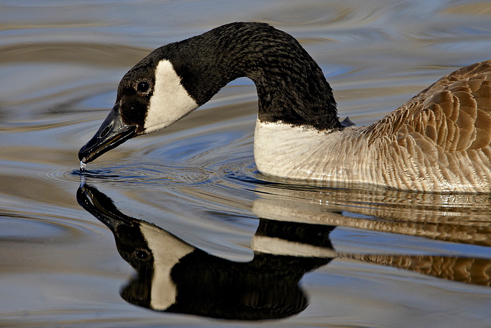Canada Goose (Branta canadensis) with reflection while swimming and drinking, Denver City Park, Denver, Colorado, United States of America, North America
