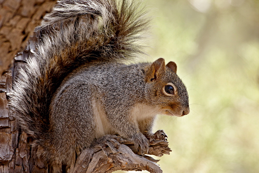Arizona gray squirrel (Sciurus arizonensis), Madera Canyon, Coronado National Forest, Arizona, United States of America, North America