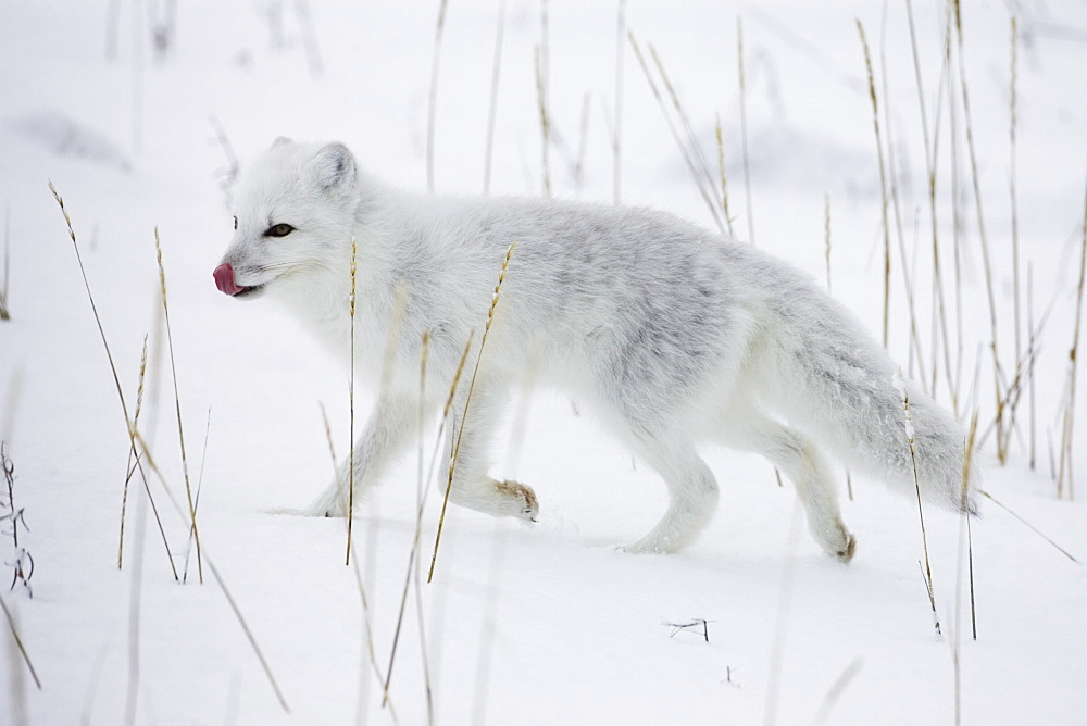 Arctic fox (Alopex lagopus) running in snow, near Churchill, Manitoba, Canada, North America - 764-194