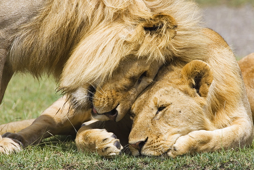 Adult male lion (Panthera leo) greeting his son, Serengeti National Park, Tanzania, East Africa, Africa