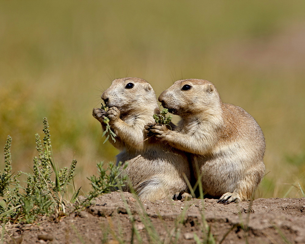 Two blacktail prairie dog (Cynomys ludovicianus) eating, Wind Cave National Park, South Dakota, United States of America, North America