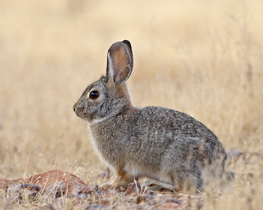 Desert cottontail (Sylvilagus audubonii), Rockhound State Park, New Mexico, United States of America, North America