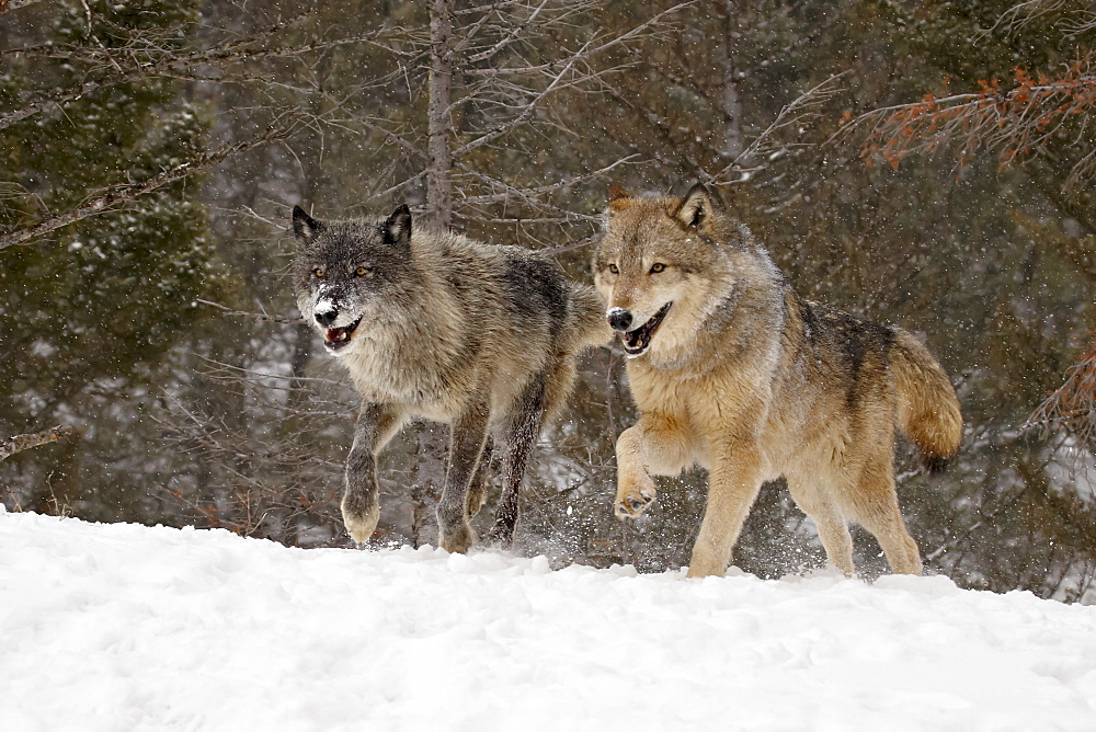 Two captive gray wolves (Canis lupus) running in the snow, near Bozeman, Montana, United States of America, North America