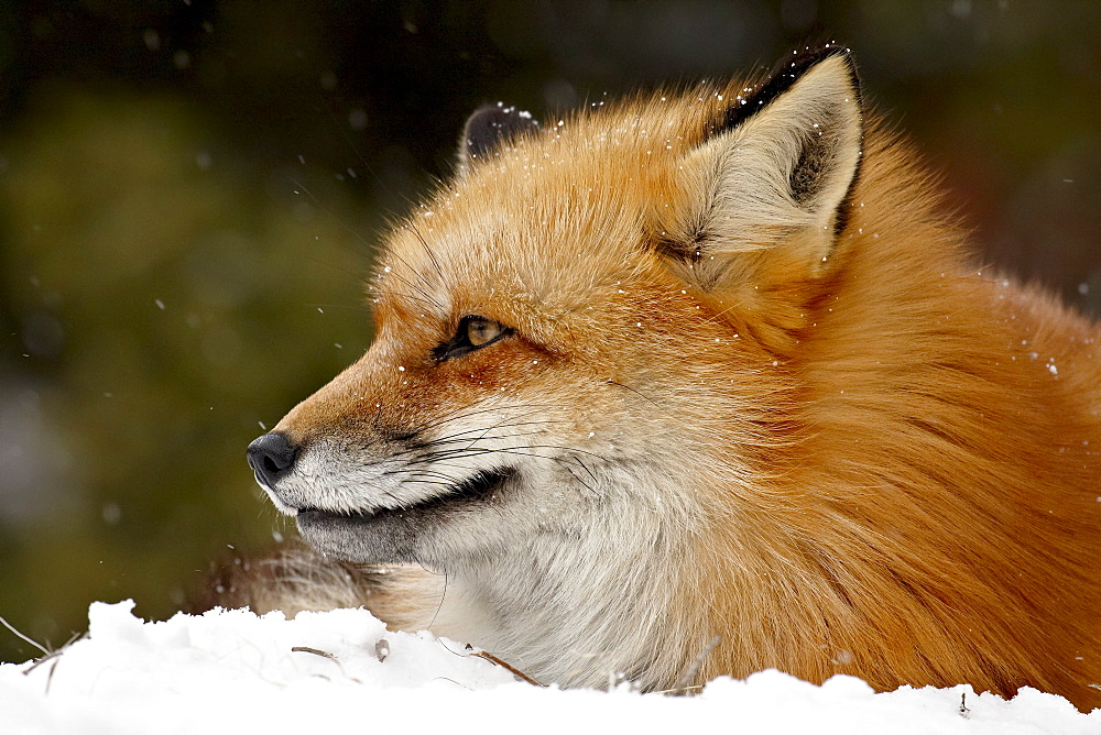 Captive red fox (Vulpes vulpes) in the snow, near Bozeman, Montana, United States of America, North America