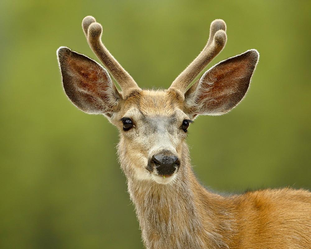 Mule deer (Odocoileus hemionus) buck in velvet, Jasper National Park, Alberta, Canada, North America