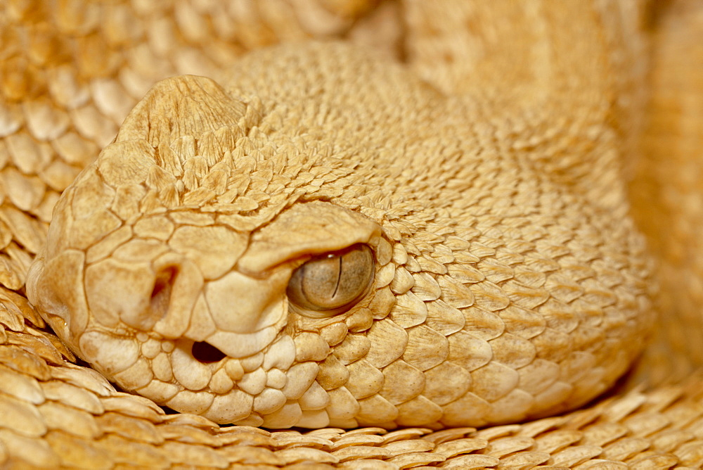 Hypomelanistic Western diamond-back rattlesnake (Western diamondback rattlesnake) (Crotalus atrox) in captivity, Arizona Sonora Desert Museum, Tucson, Arizona, United States of America, North America