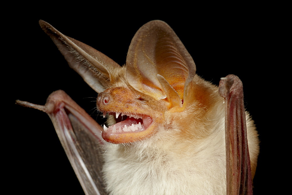 Pallid bat (Antrozous pallidus) in captivity, Hidalgo County, New Mexico, United States of America, North America