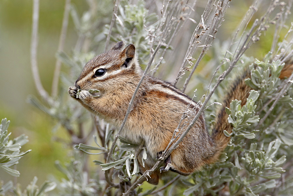 Yellow pine chipmunk (Eutamias amoenus) eating sagebrush leaves, Yellowstone National Park, Wyoming, United States of America, North America