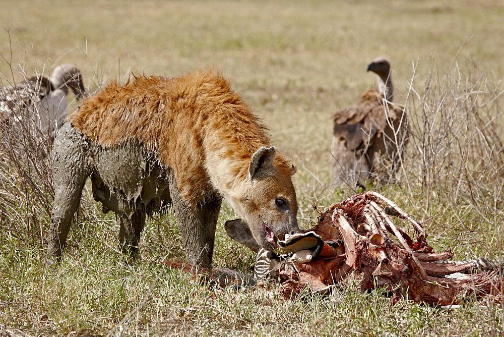 Spotted hyena (Crocuta crocuta) at the remains of a zebra kill, Tanzania, East Africa, Africa