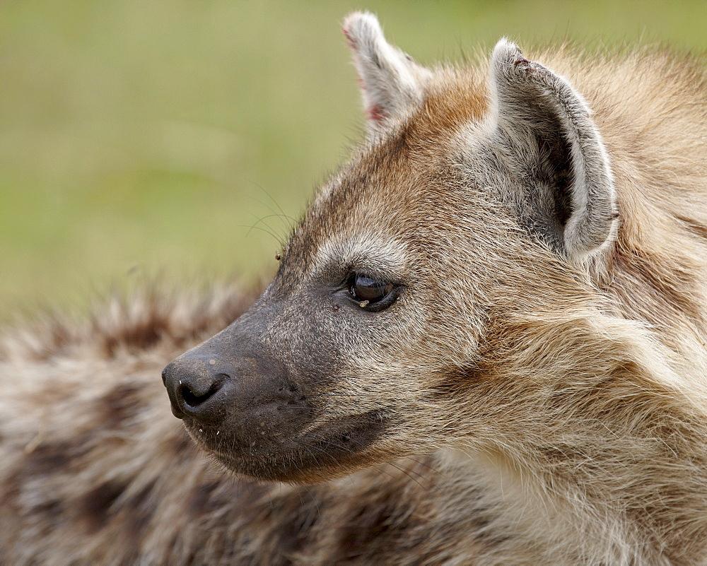 Spotted Hyena (Spotted Hyaena) (Crocuta crocuta), Serengeti National Park, Tanzania, East Africa, Africa
