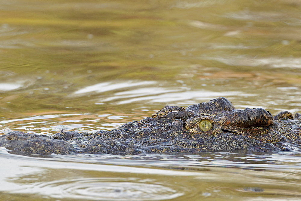 Nile crocodile (Crocodylus niloticus) swimming, Serengeti National Park, Tanzania, East Africa, Africa