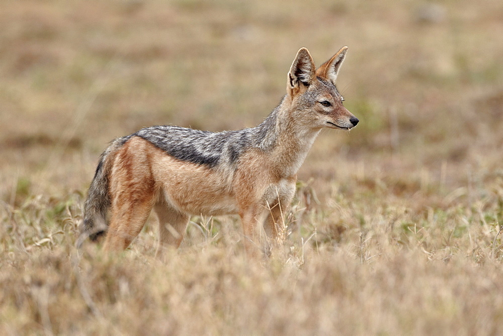 Black-backed jackal (silver-backed jackal) (Canis mesomelas), Serengeti National Park, Tanzania, East Africa, Africa