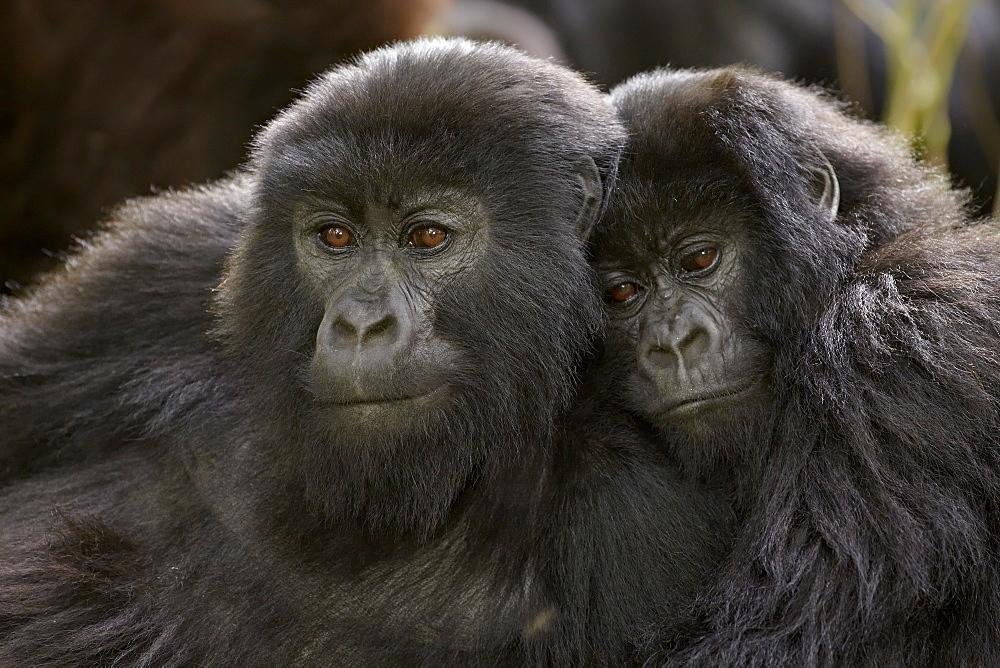 Two juvenile mountain gorillas (Gorilla gorilla beringei) of the Umubano group, Volcanoes National Park, Rwanda, Africa