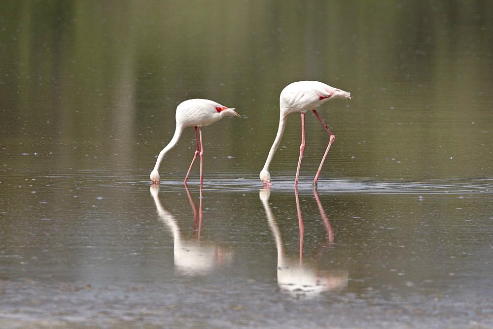 Two greater flamingo (Phoenicopterus roseus) feeding, Serengeti National Park, Tanzania, East Africa, Africa