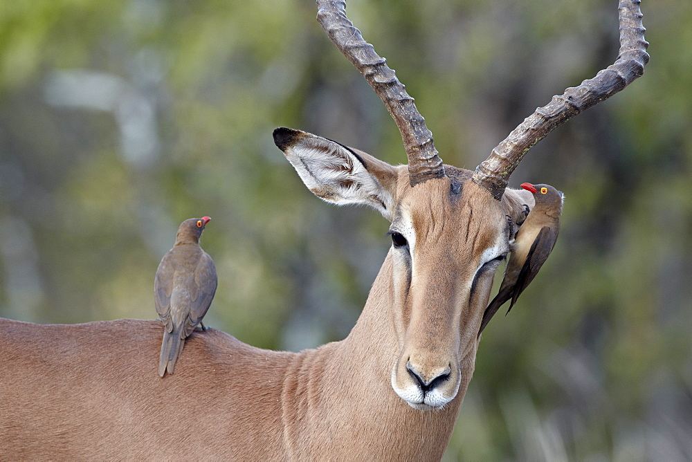 Male impala (Aepyceros melampus) with two red-billed oxpeckers (Buphagus erythrorhynchus), Kruger National Park, South Africa, Africa