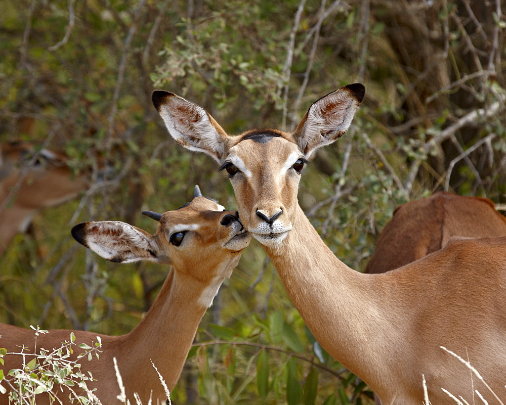 Impala (Aepyceros melampus) mother and young buck, Kruger National Park, South Africa, Africa
