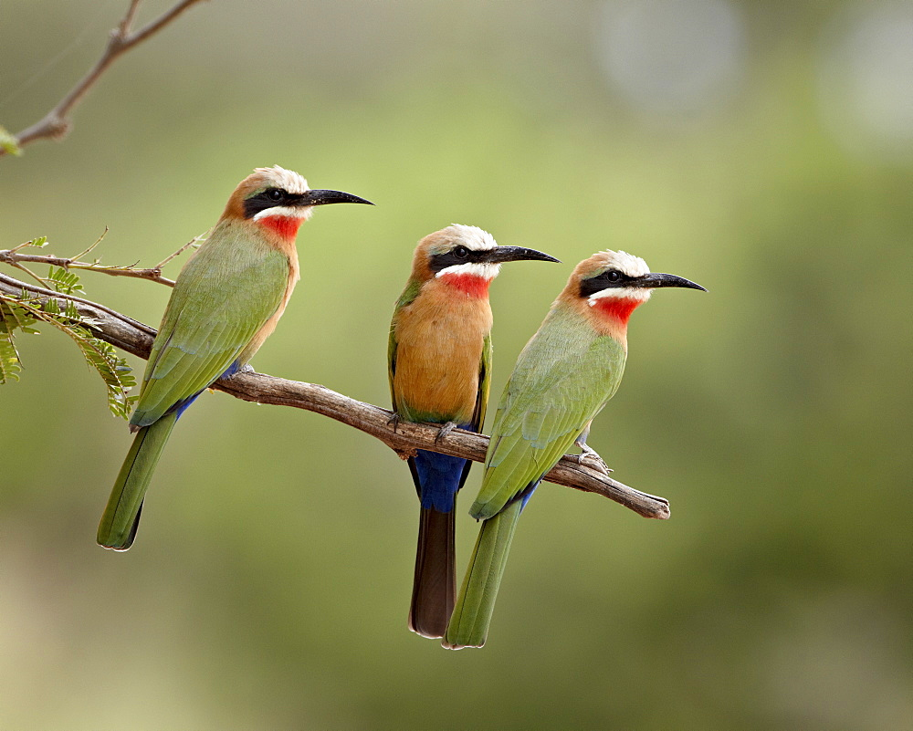 Three white-fronted bee-eaters (Merops bullockoides), Kruger National Park, South Africa, Africa - 764-3008