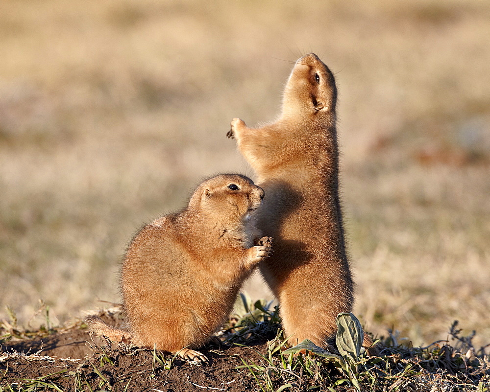 Two black-tailed prairie dog (blacktail prairie dog) (Cynomys ludovicianus) with one calling, Custer State Park, South Dakota, United States of America, North America
