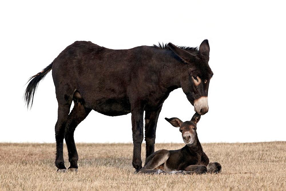 Wild burro (donkey) (Equus asinus) (Equus africanus asinus) jenny biting its foal's ear, Custer State Park, South Dakota, United States of America, North America - 764-3108