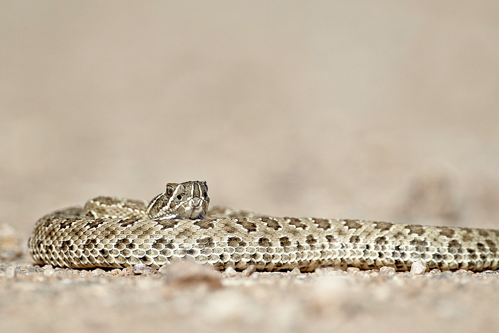 Prairie rattlesnake (Western rattlesnake) (Plains rattlesnake) (Crotalus viridis), Custer State Park, South Dakota, United States of America, North America