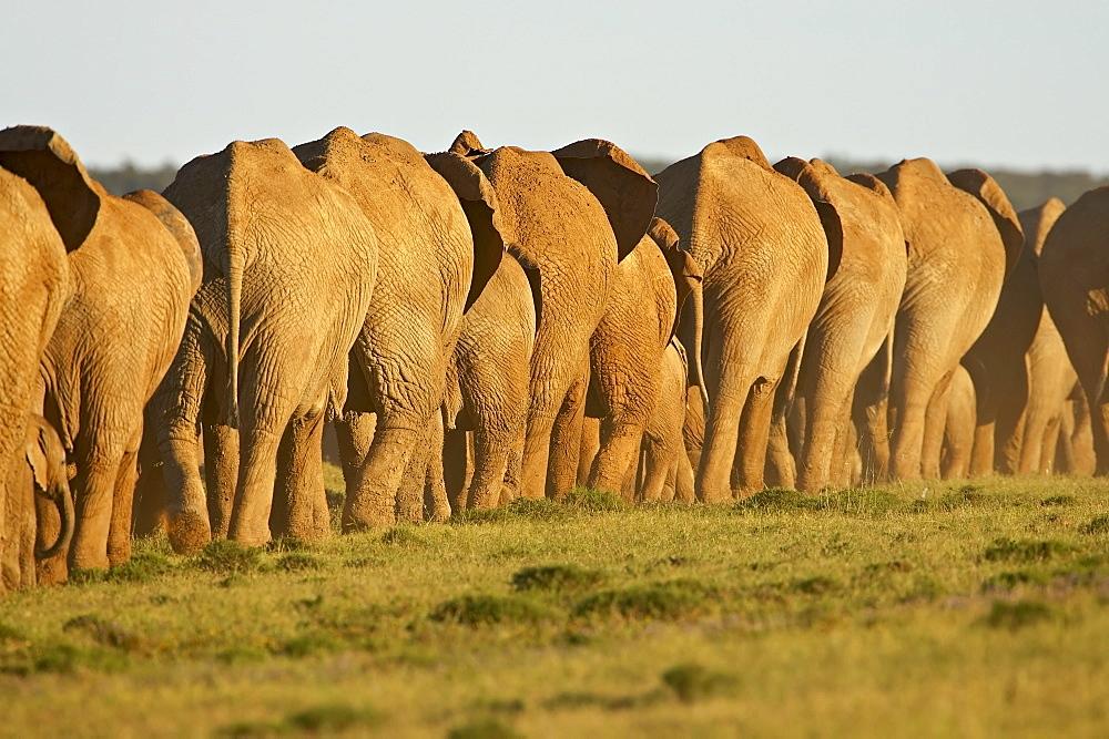 Line of African elephants (Loxodonta africana), Addo Elephant National Park, South Africa, Africa - 764-315