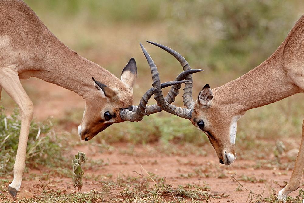 Two impala (Aepyceros melampus) bucks sparring, Imfolozi Game Reserve, South Africa, Africa