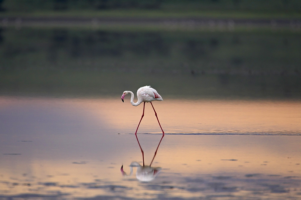 Greater flamingo (Phoenicopterus ruber) reflected in Lake Ndutu at sunset, Serengeti National Park, Tanzania, East Africa