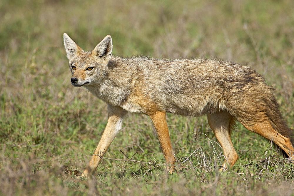 Golden jackal (Canis Aureus), Serengeti National Park, Tanzania, East Africa, Africa